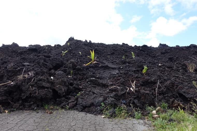 溶岩に植えられたココナッツ