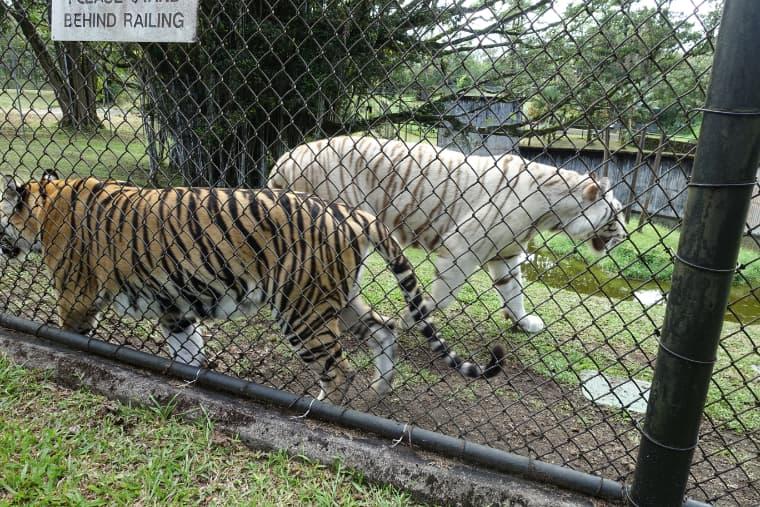 虎が2匹います